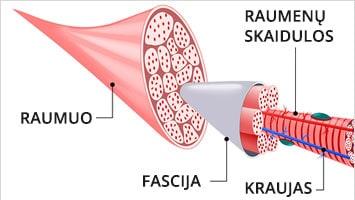 Kas yra fascijos?